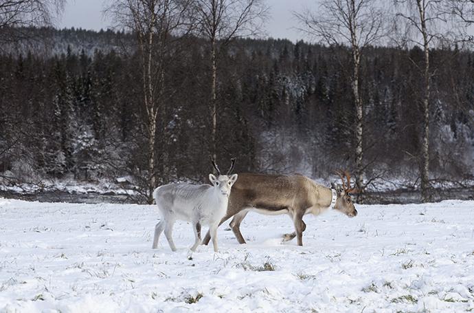 Två renar. En brun vaja med en vit kalv i snö